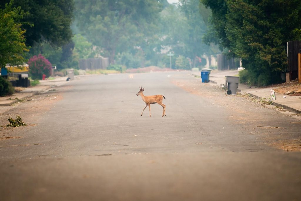A deer crosses Harlan Drive in the Lake Redding Estates subdivision in Redding.