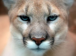 Mountain lion by Art G. (originally posted to Flickr as Those Eyes) via Wiki Commons.