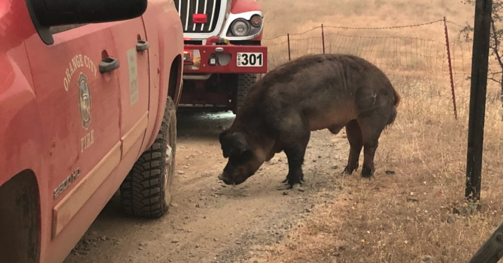 A large wild pig with tusks snuffles the ground near fire trucks on the Ranch Fire.