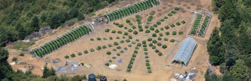 Cannabis garden raided yesterday in the Hyampom area.