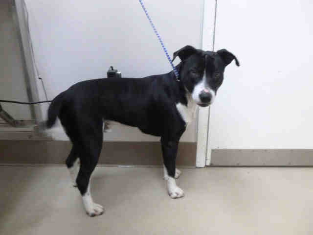 This 'Pit Bull'/'Border Collie' Mix Needs a Good Home – Redheaded