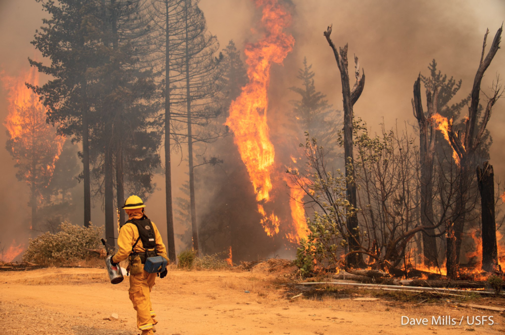 It takes courage to fight fire with fire. A firefighter holds a drip torch while gazing at wildfire climbing a tree and shooting into the air.