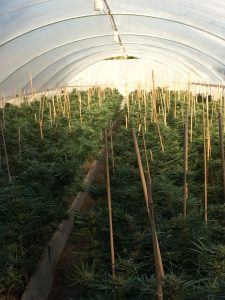Marijuana grow greenhouse