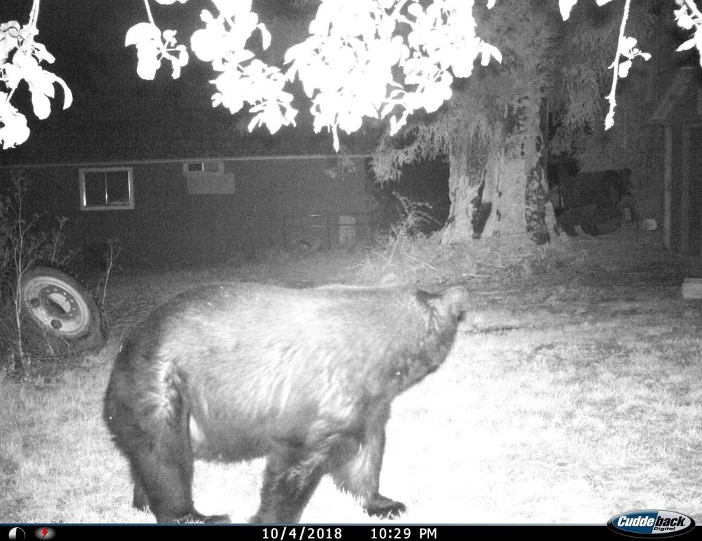 A bear captured on game camera