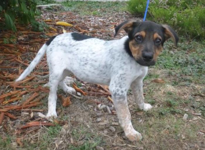 coonhound puppy
