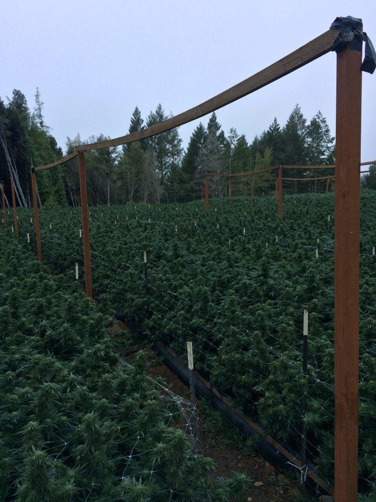 Marijuana grow raid