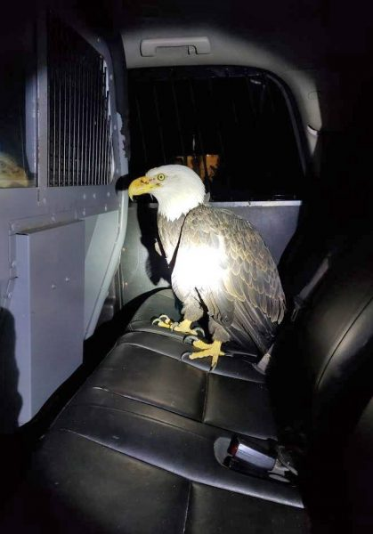 An injured bald eagle was taken into custody by Yurok Tribal Police and a California Department of Fish and Wildlife Warden .