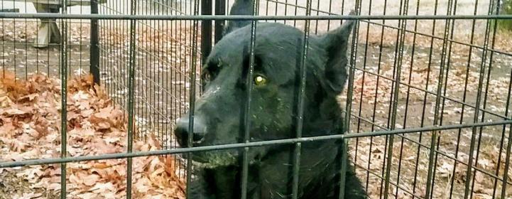 Black dog in cage