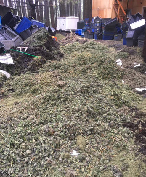 Marijuana bud mounded over a trench which was created by law enforcement to bury and destroy the seized product