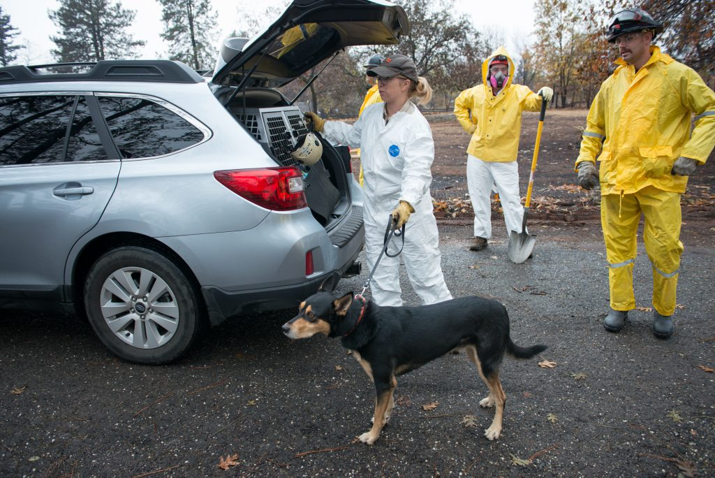 Kayla Hardin prepares to deploy her search dog Darwin at a location in Paradise.