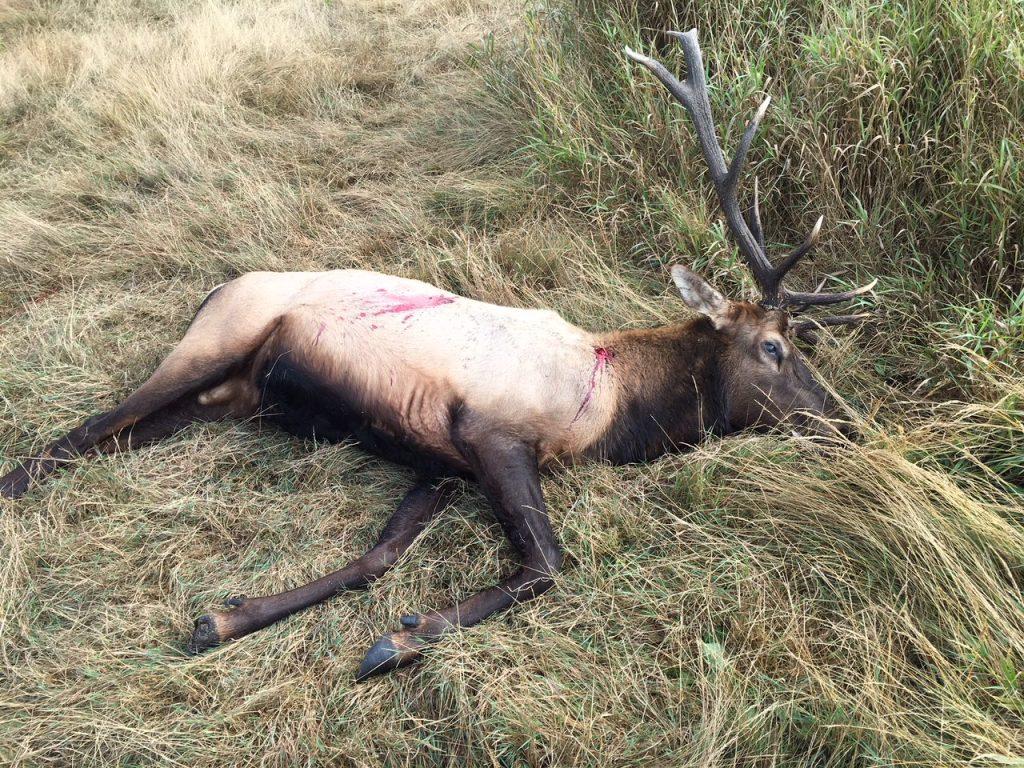 Poached elk