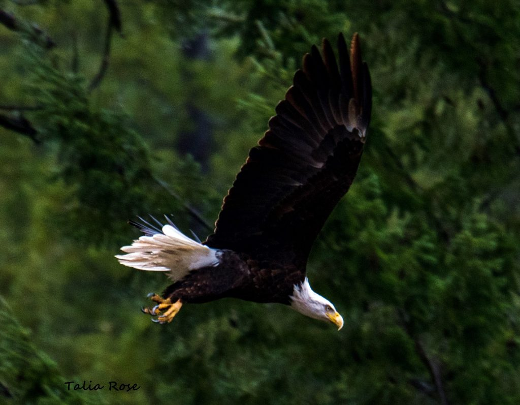 Eagle by Talia Rose