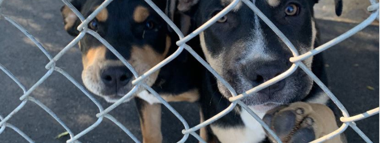 Puppies chain link fence