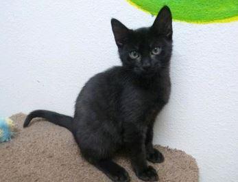 peter the black cat
