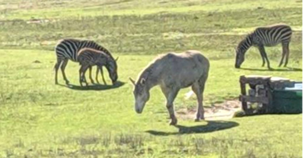 New zebra foal in the Lost Coast herd near Petrolia.
