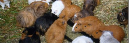 Guinea pigs from alleged hoarder