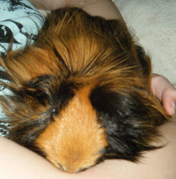 Accused Guinea Pig Hoarder Defends Himself in Letter to the