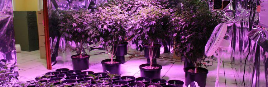 Indoor marijuana HCSO