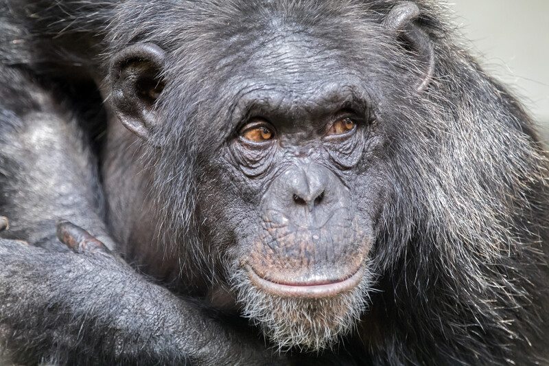 Sheriff's Office Looking for Chimp Wearing a Diaper