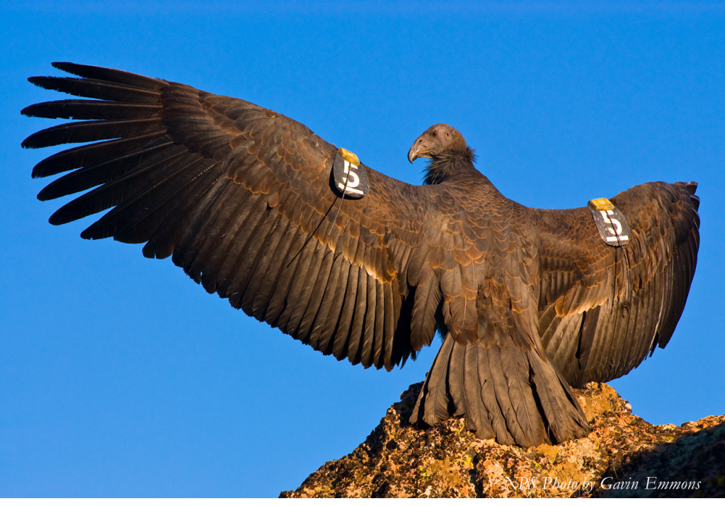 Condor with tags. [Photo from the National Park Service]
