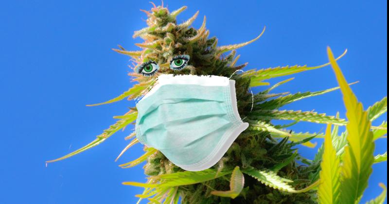 cannabis and the coronavirus by kym kemp