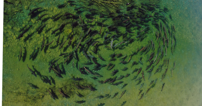 Chinook salmon school holding in shallow water in the lower Eel River. Photo by Dave Sopjes.