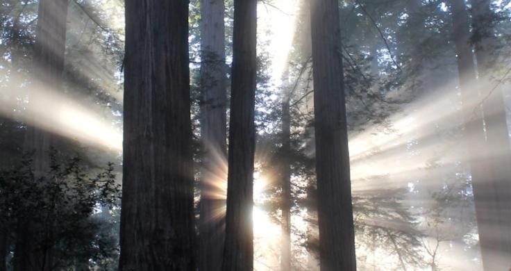 Sunlight through Redwoods National Park Service