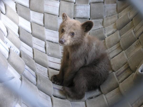 Rescued bear cub.