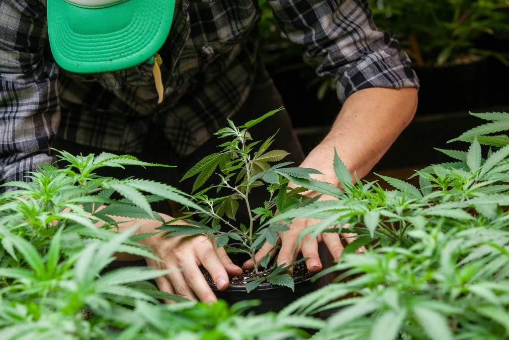 Man transplanting cannabis.