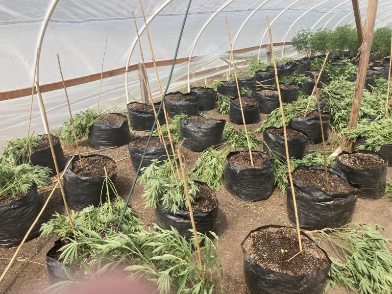Cut marijuana in a greenhouse.